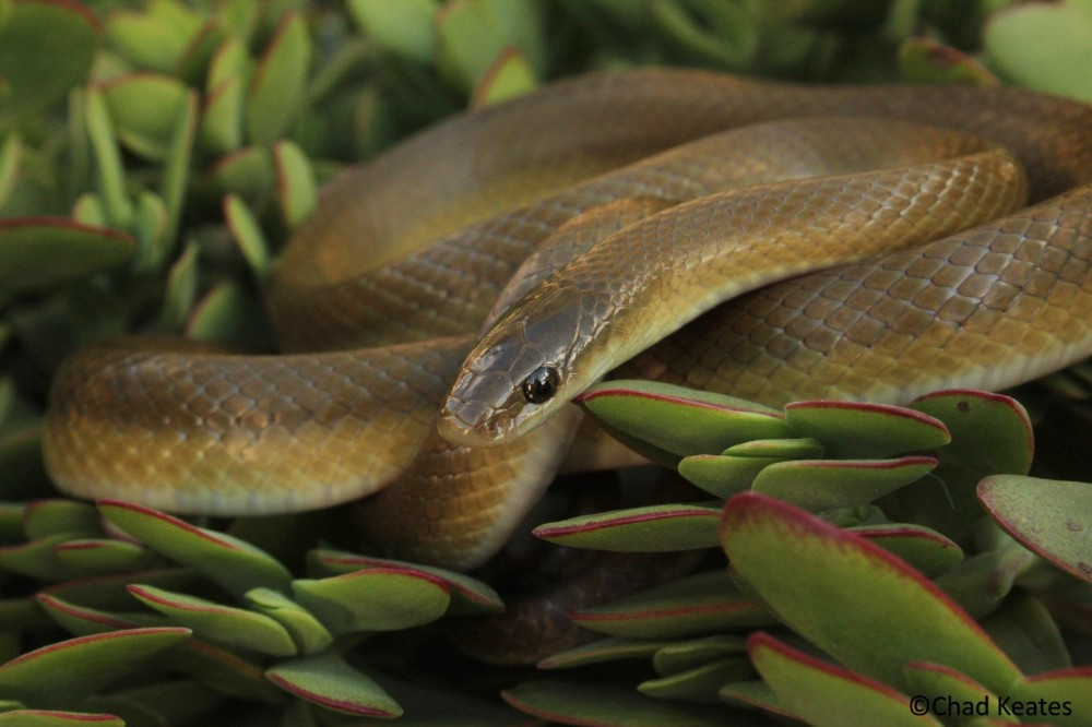 larger-yellow-bellied-house-snake