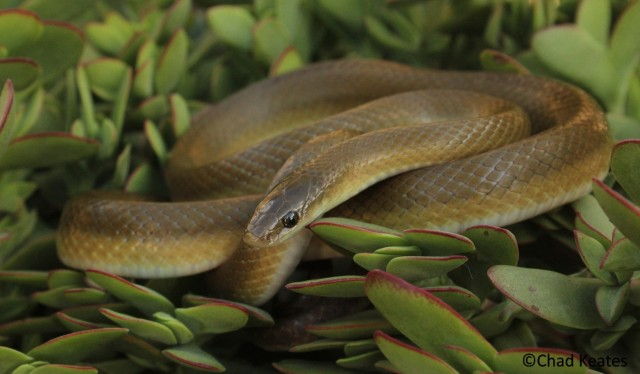 new-yellow-bellied-house-snake