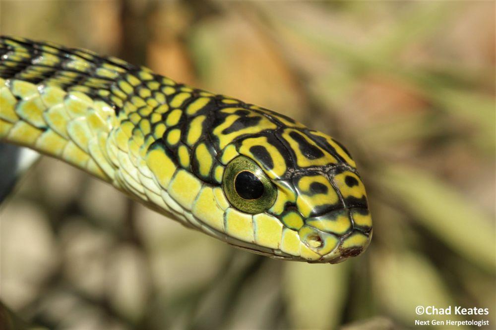 Top Ten Most Common Snakes Around Grahamstown  | Next Gen Herpetologist
