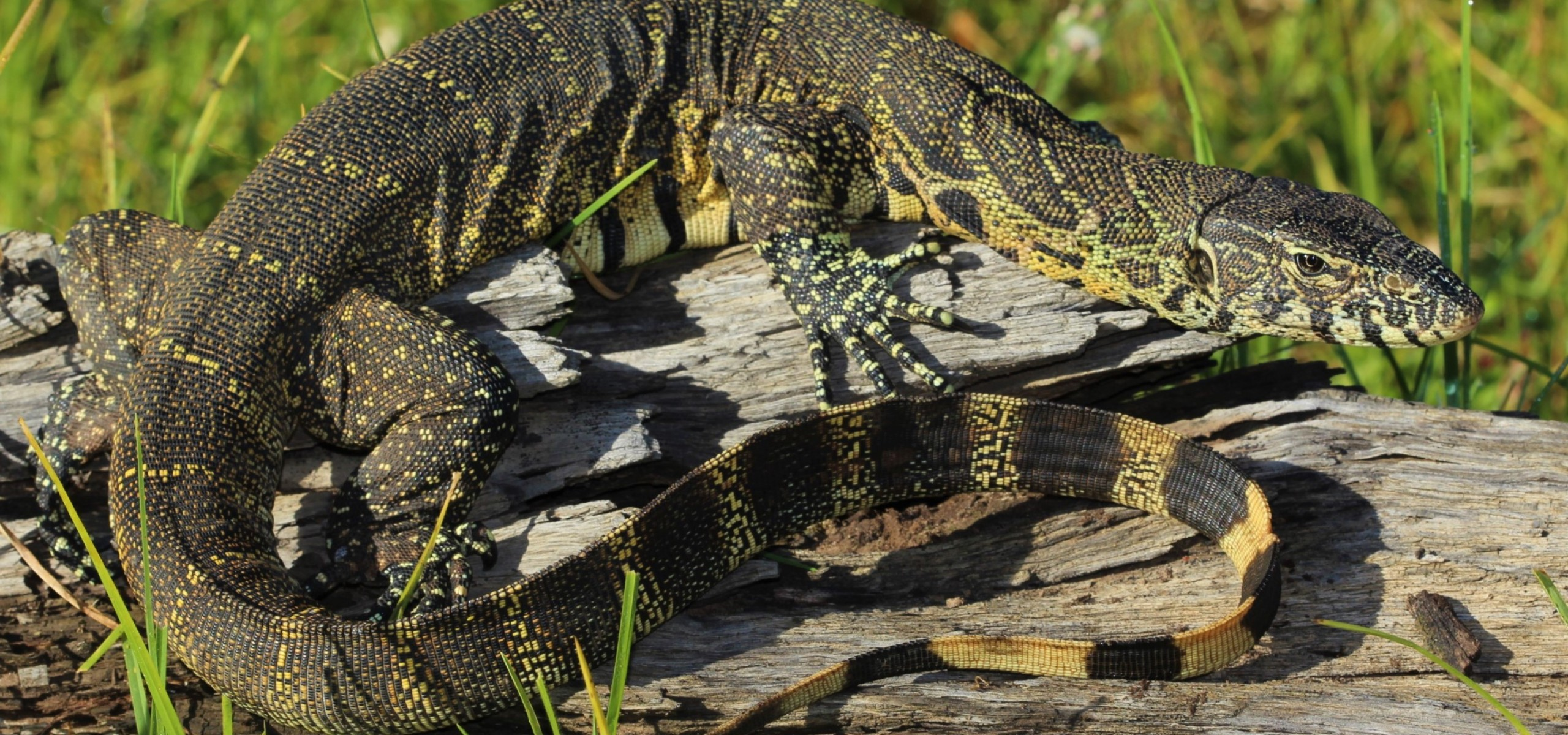 The Monitor Lizards Of Southern Africa Next Gen Herpetologist