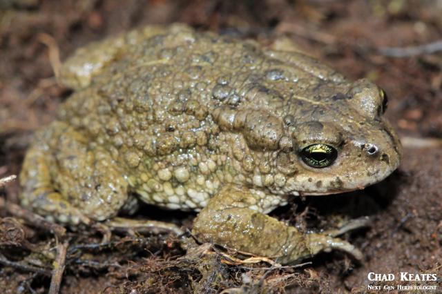 amatola toad body shot 3 30 August 2017