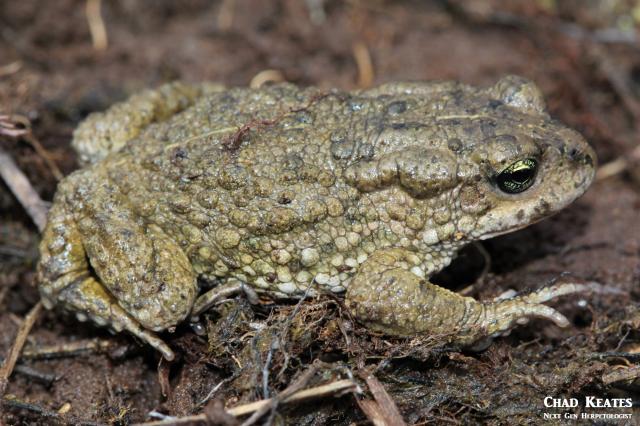 amatola toad body shot 30 August 2017