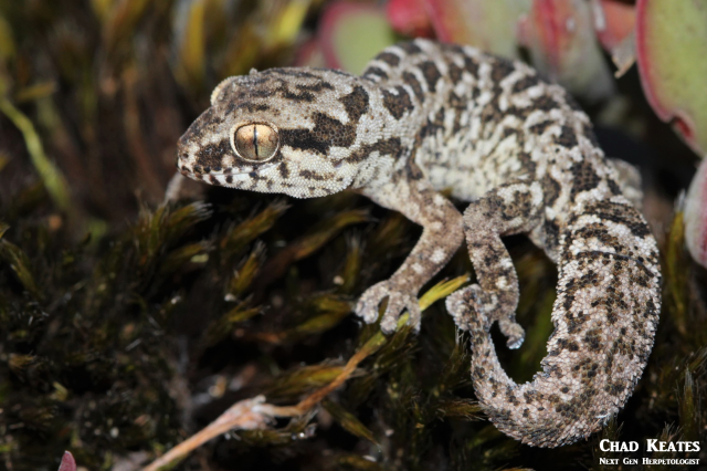 body shot spotted gecko