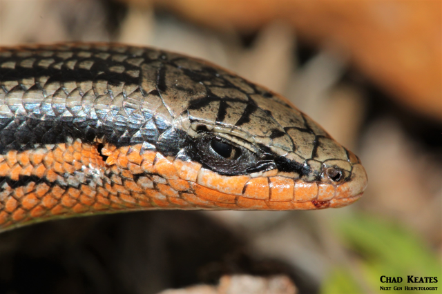 head shot red sided skink