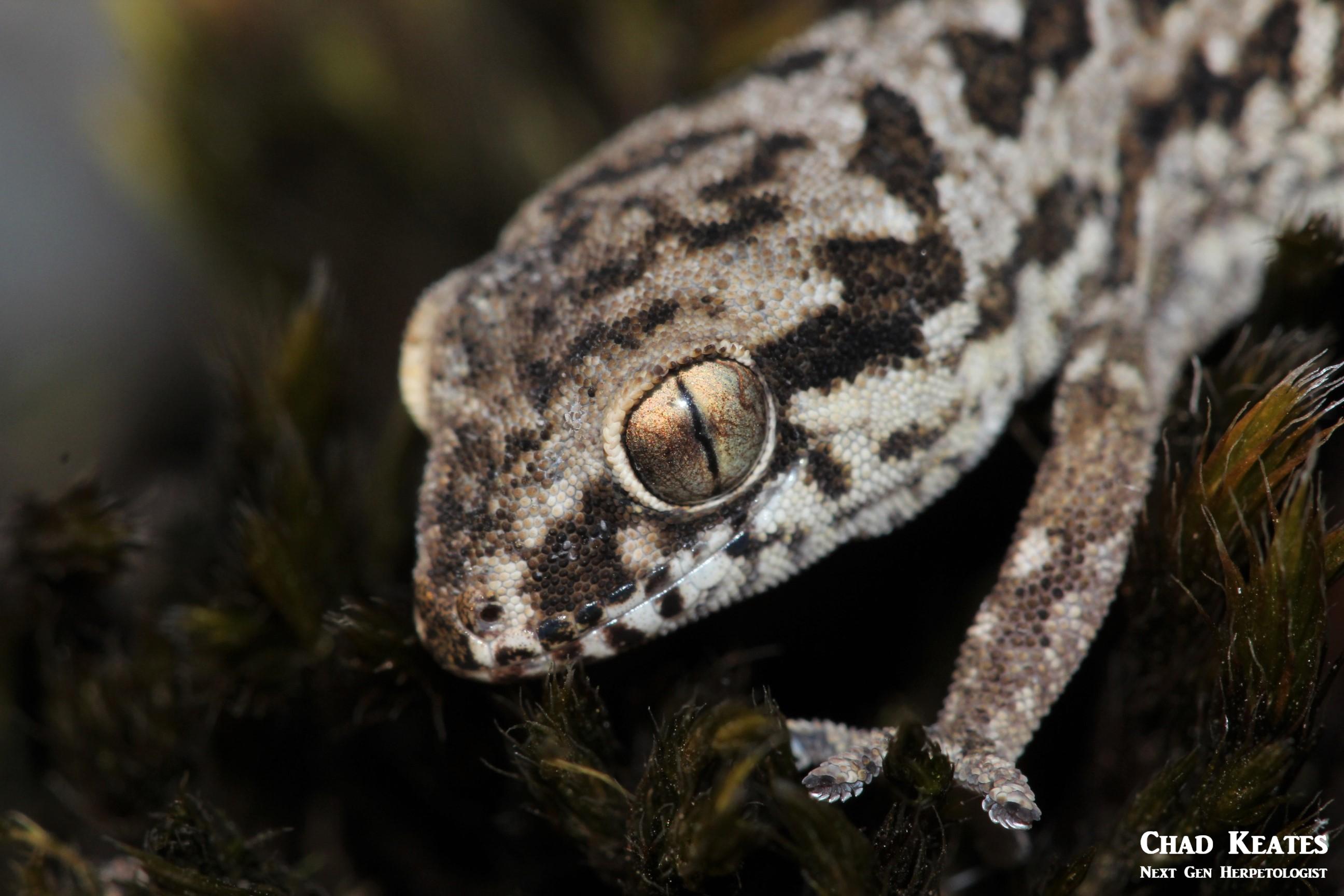 spotted gecko half body shot
