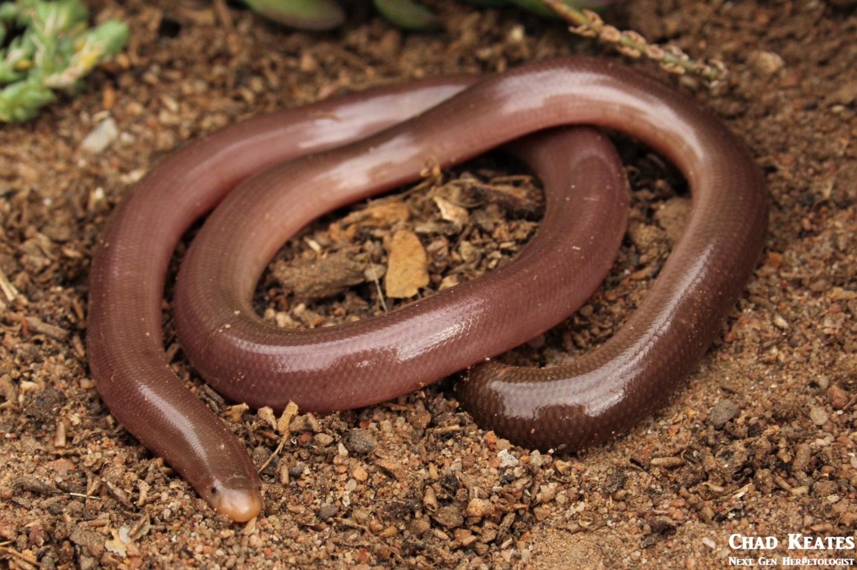 Bibron's Blind Snake (Afrotyphlops bibronii)