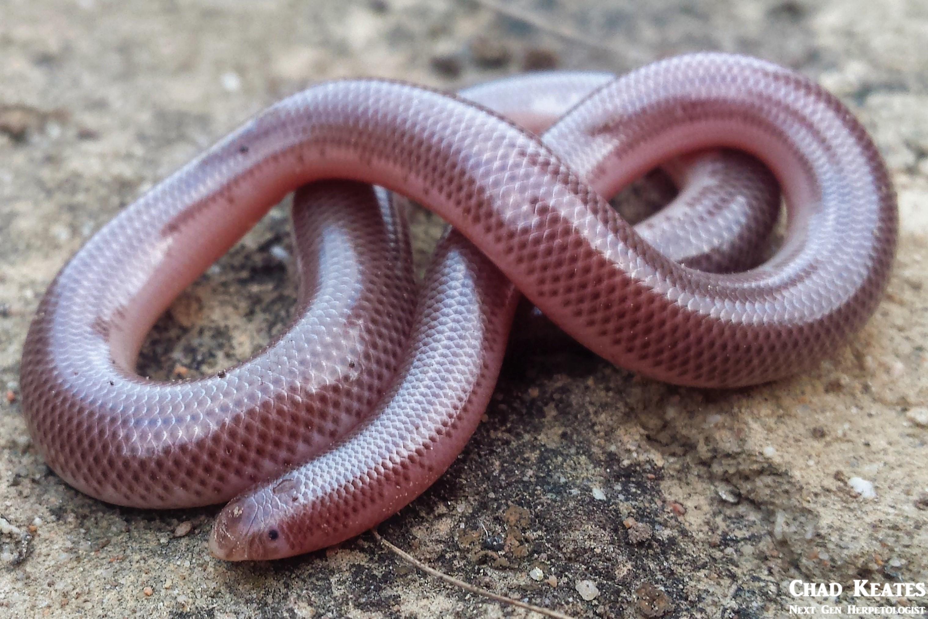 Delalande's Beaked Blind Snake (Rhinotyphlops lalandei)