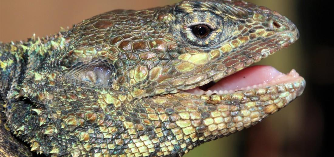 Acanthocercus atricollis
