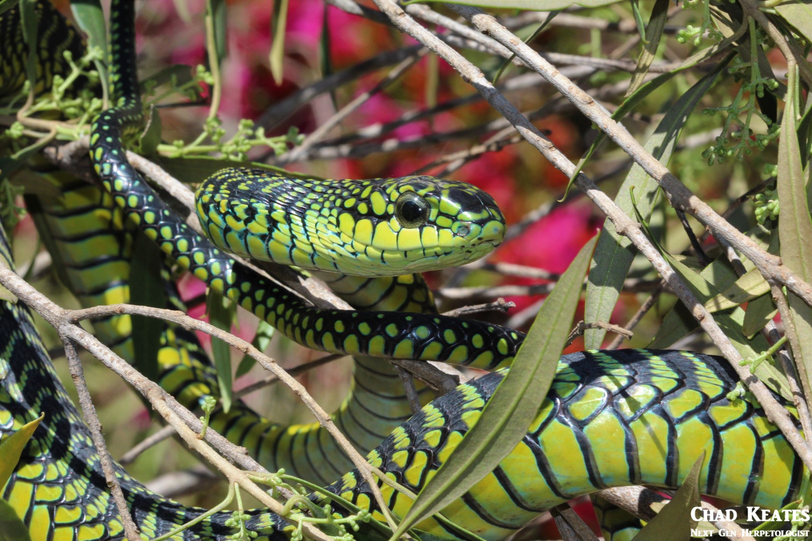 Male Boomslang (Dispholidus typus typus)