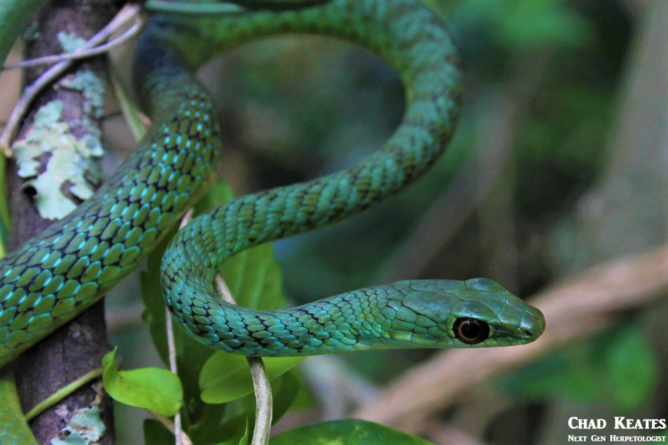 Spotted Bush Snake(Philothmnus semivariegatus)