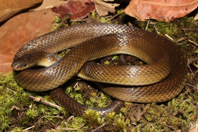 Yellow-bellied House Snake (Lamprophis fuscus).JPG