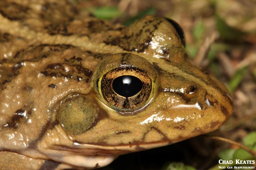 Amietia_poyntoni_Poynton's_River_Frog_Chad_Keates (2)