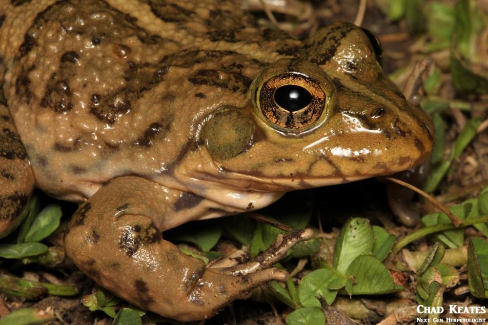 Amietia_poyntoni_Poynton's_River_Frog_Chad_Keates (3)