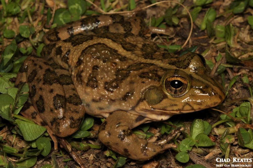 Amietia_poyntoni_Poynton's_River_Frog_Chad_Keates (4)