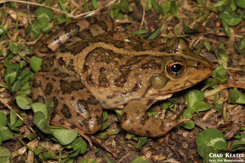 Amietia_poyntoni_Poynton's_River_Frog_Chad_Keates