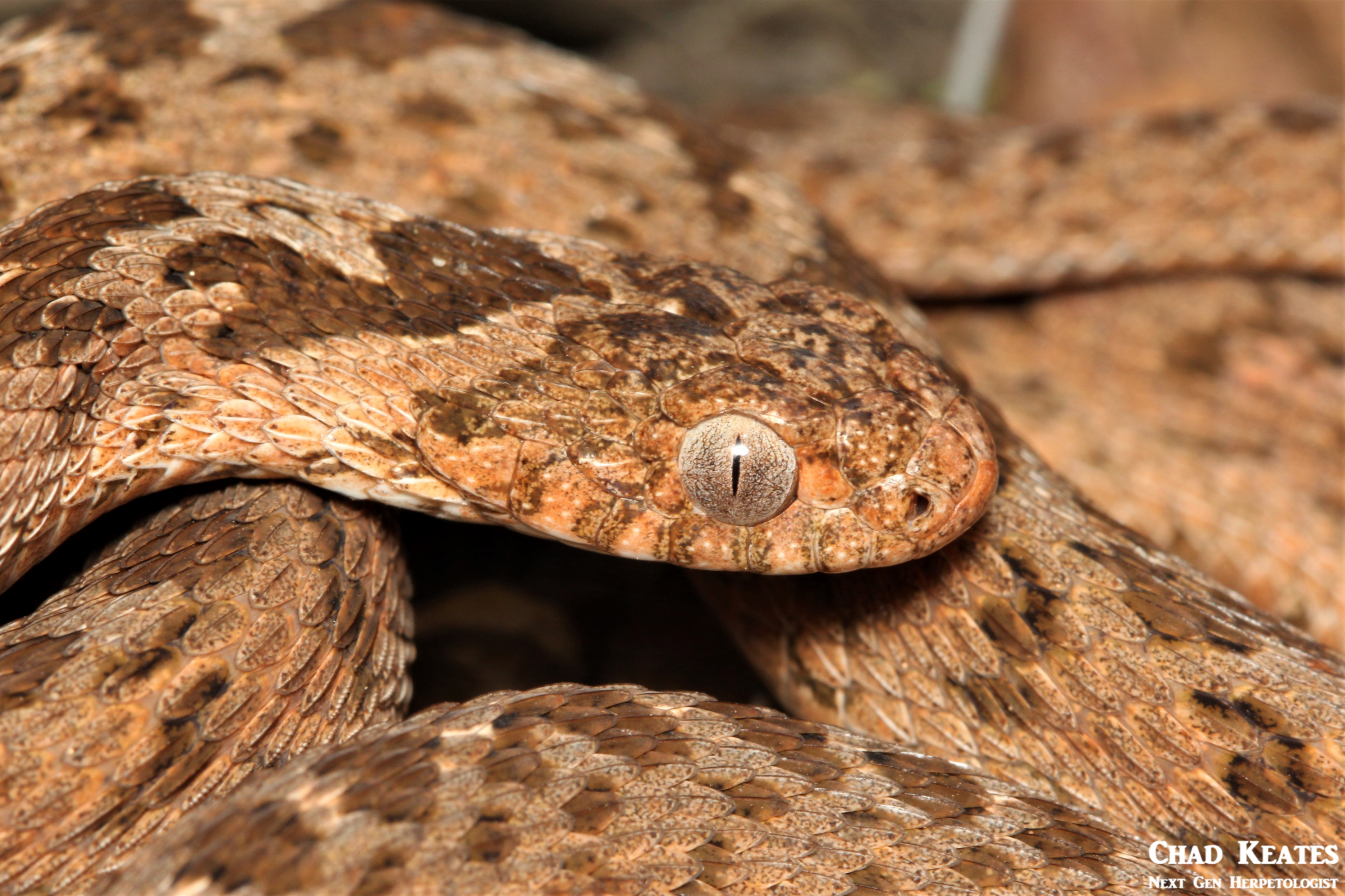 Dasypeltis_scabra_Rhombic_Egg_Eater_Chad_Keates (3)