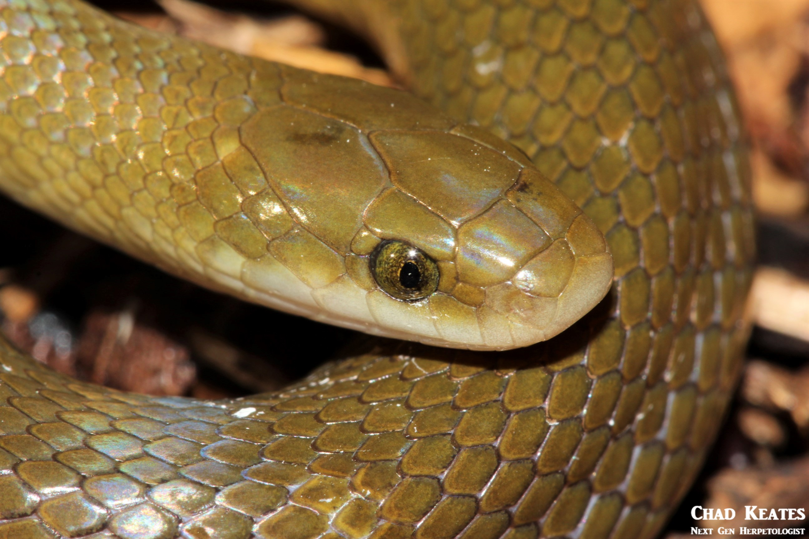 Lamprophis_fuscus_Yellow_Bellied_House_Snake_Chad_Keates (2)