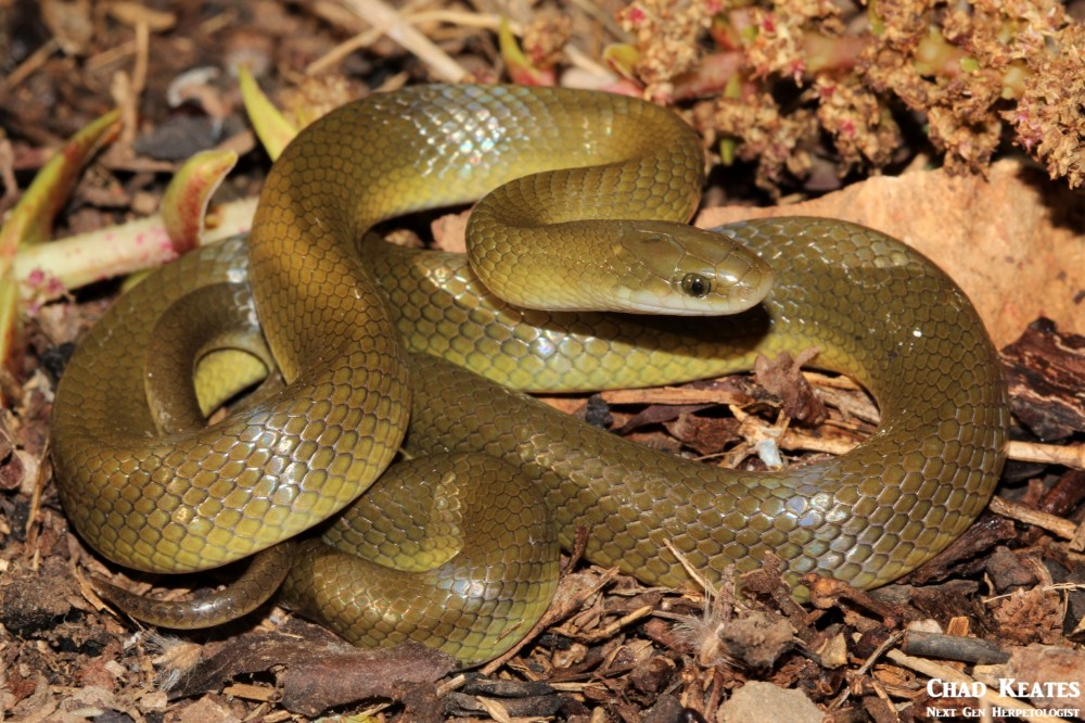 Lamprophis_fuscus_Yellow_Bellied_House_Snake_Chad_Keates (3)