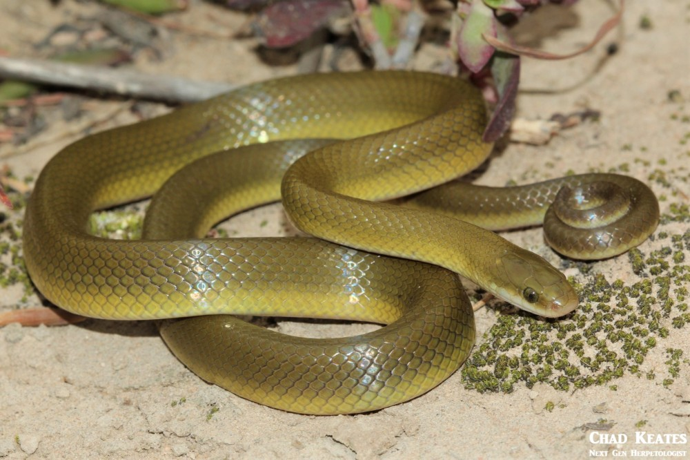 Lamprophis_fuscus_Yellow_Bellied_House_Snake_Chad_Keates (4)