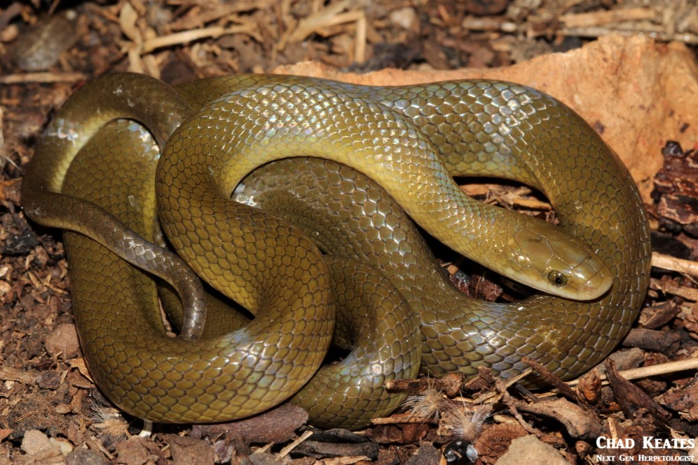 Lamprophis_fuscus_Yellow_Bellied_House_Snake_Chad_Keates