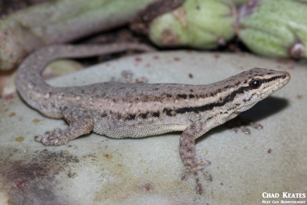 Lygodactylus_capensis_Cape_Dwarf_Gecko_Chad_Keates (2)
