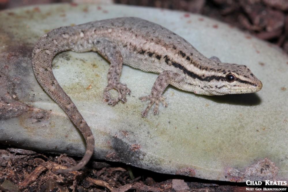 Lygodactylus_capensis_Cape_Dwarf_Gecko_Chad_Keates