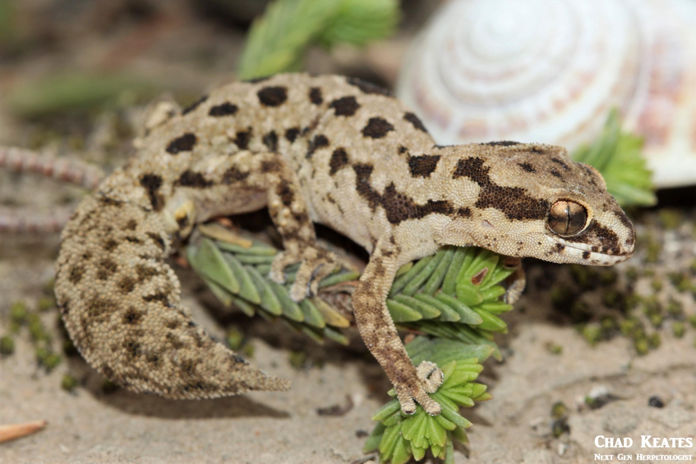Pachydactylus_maculatus_Spotted_Gecko_Chad_Keates (2)