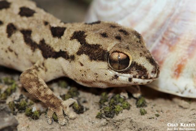 Pachydactylus_maculatus_Spotted_Gecko_Chad_Keates (3)