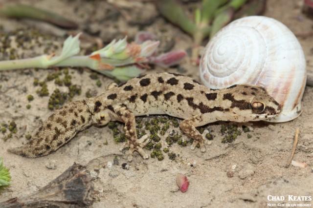 Pachydactylus_maculatus_Spotted_Gecko_Chad_Keates (4)