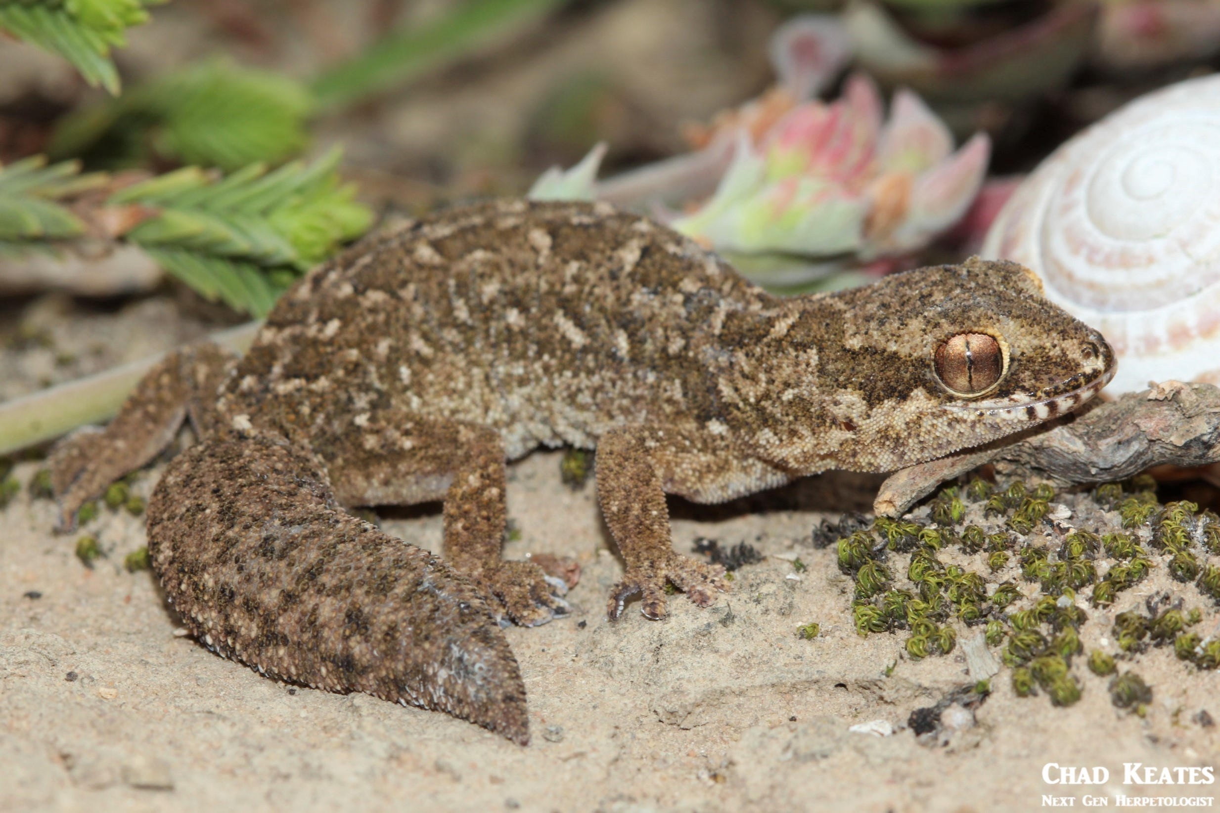 Pachydactylus_maculatus_Spotted_Gecko_Chad_Keates (5)
