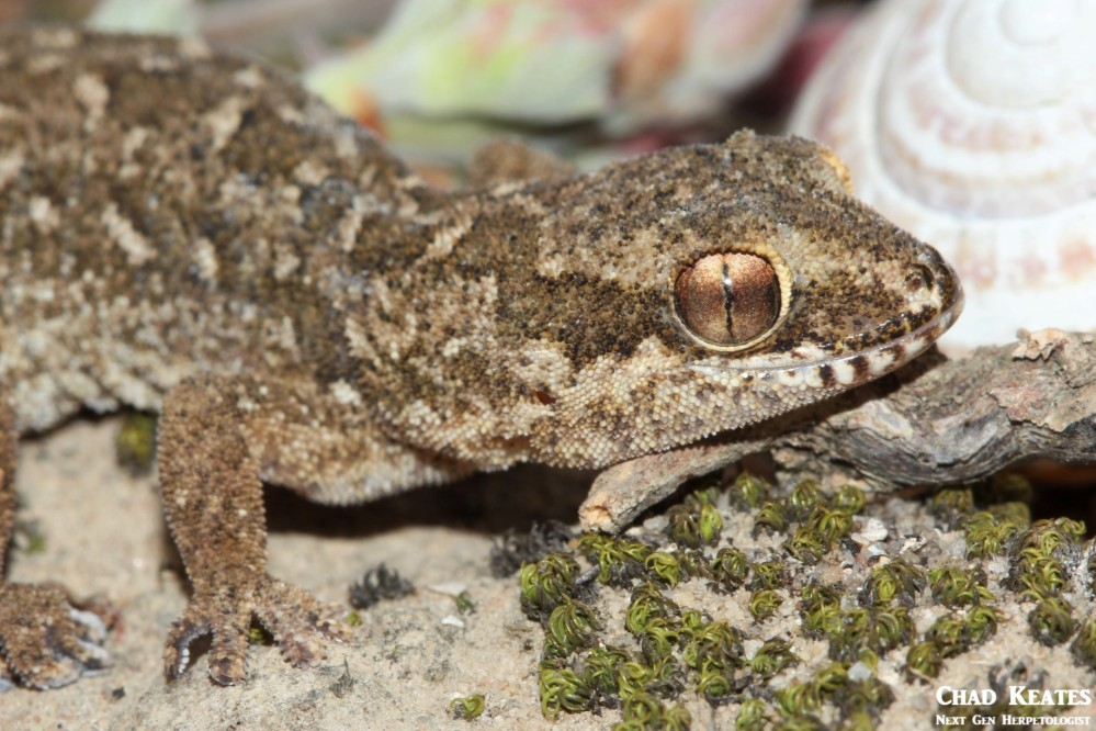 Pachydactylus_maculatus_Spotted_Gecko_Chad_Keates (6)