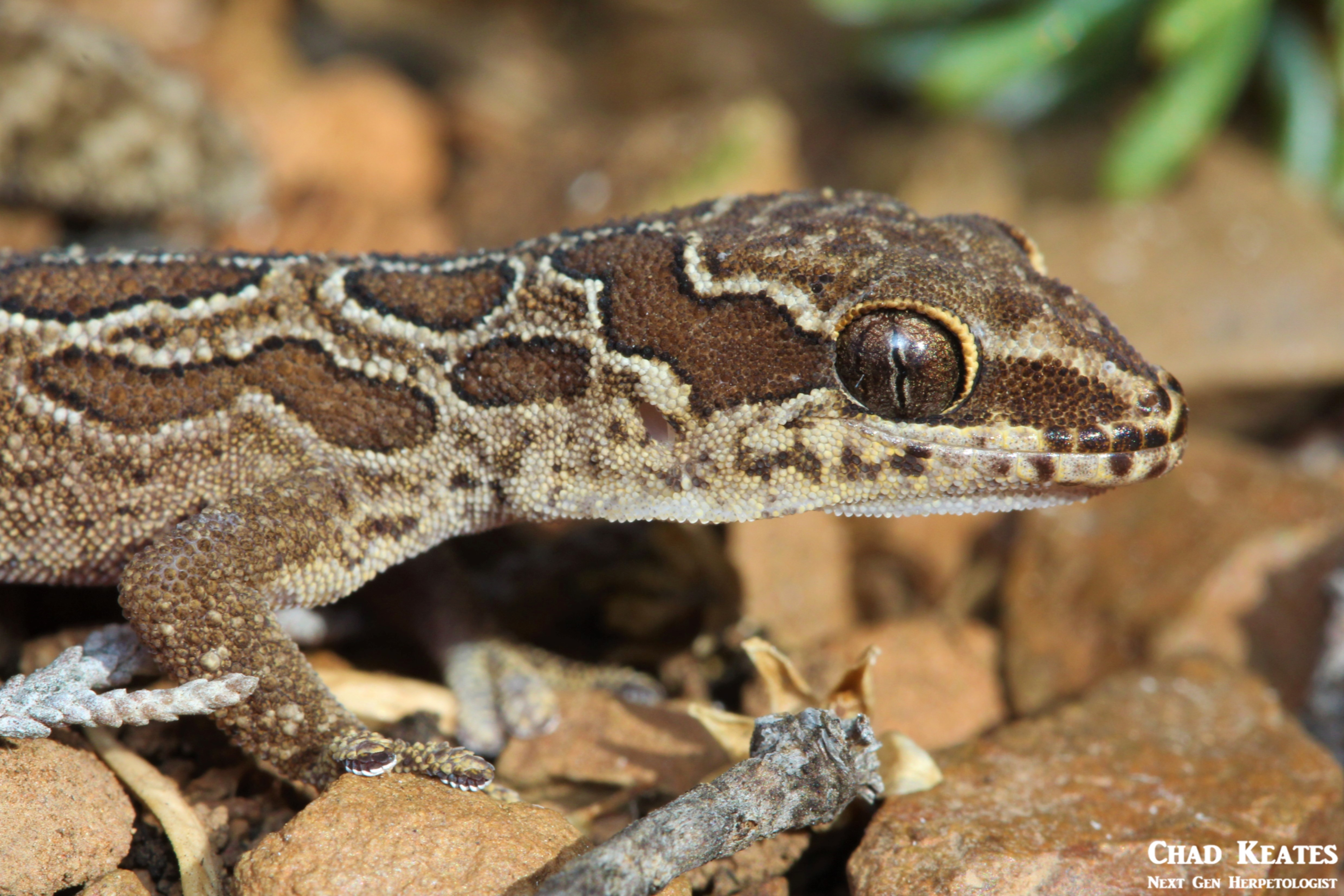 Pachydactylus_oculatus_Golden_Spotted_Thick_Toed_Gecko_Chad_Keates (2)