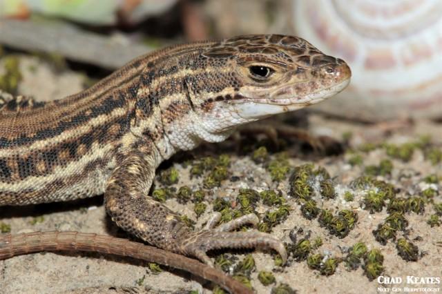 Pedioplanis_burchelli_Burchell's Sand_Lizard_Chad_Keates (2)