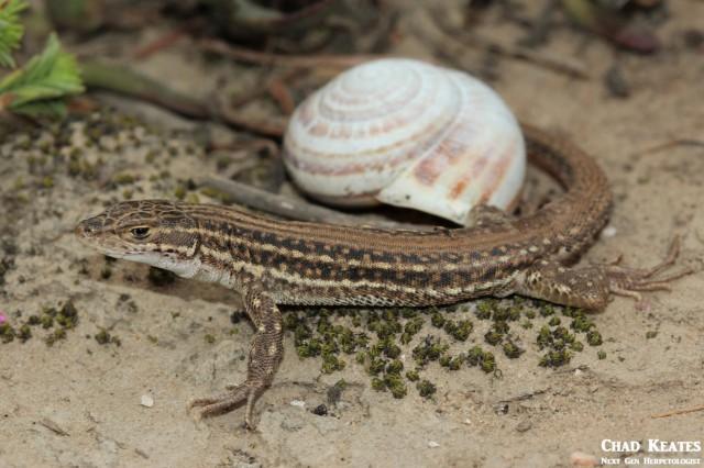 Pedioplanis_burchelli_Burchell's Sand_Lizard_Chad_Keates (3)