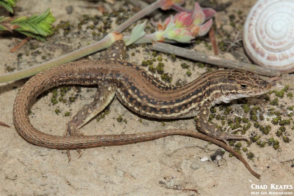 Pedioplanis_burchelli_Burchell's Sand_Lizard_Chad_Keates