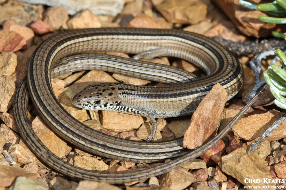 Tetradactylus_tetradactylus_Common_Long_Tailed_Seps_Chad_Keates