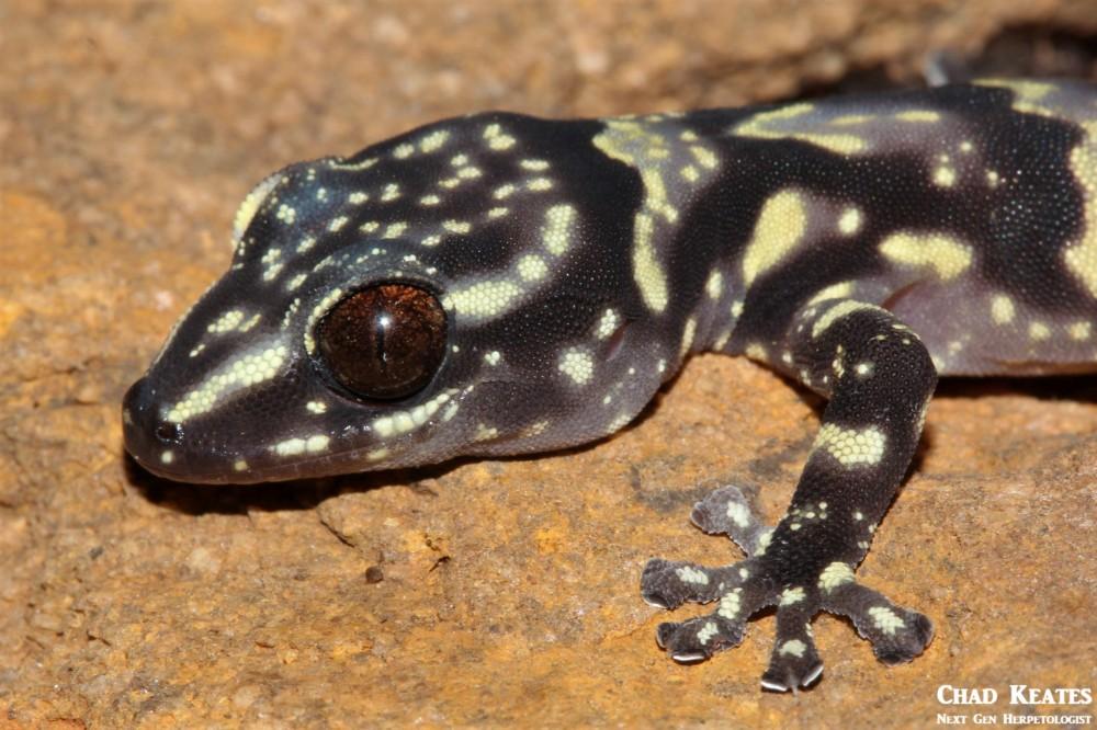 Afroedura_hawequensis_Hawaqua_Flat_Gecko_Chad_Keates (2)