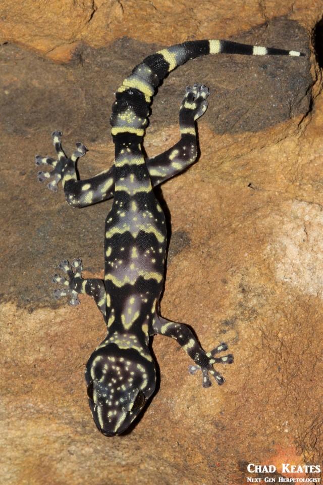 Afroedura_hawequensis_Hawaqua_Flat_Gecko_Chad_Keates (3)