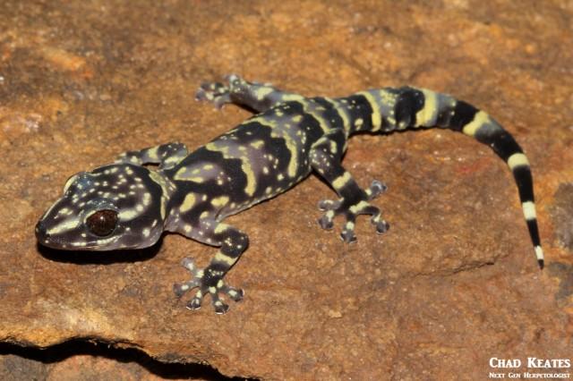 Afroedura_hawequensis_Hawaqua_Flat_Gecko_Chad_Keates (4)