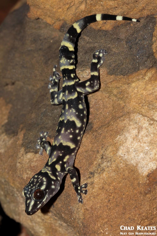 Afroedura_hawequensis_Hawaqua_Flat_Gecko_Chad_Keates (5)