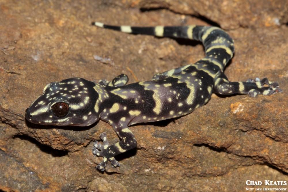 Afroedura_hawequensis_Hawaqua_Flat_Gecko_Chad_Keates