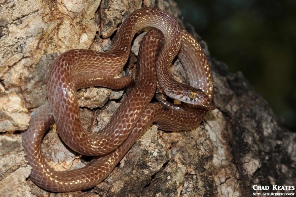 Dipsadoboa_aulica_Marbled Tree_Snake_Chad_Keates (2)