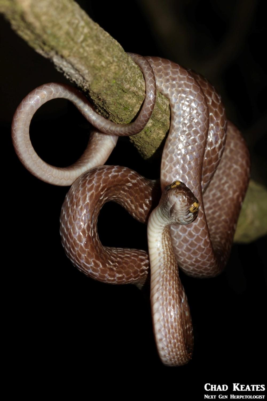 Dipsadoboa_aulica_Marbled Tree_Snake_Chad_Keates (3)