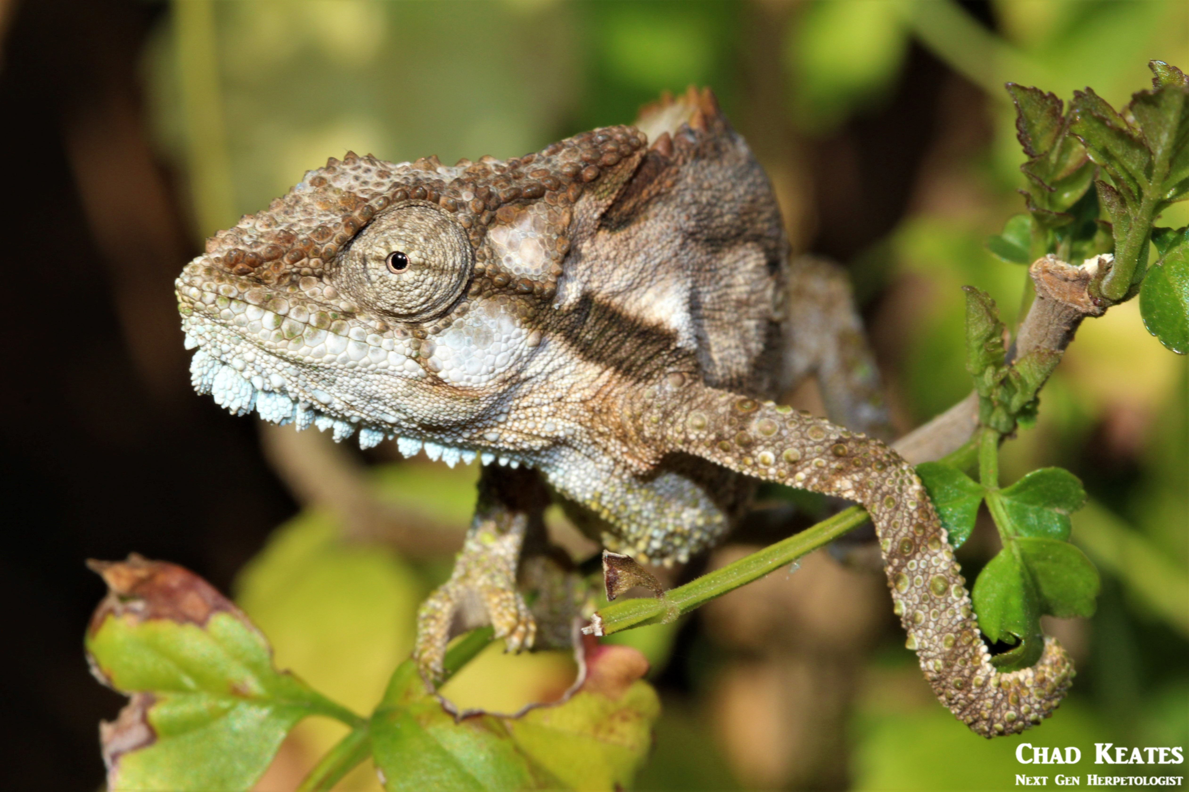 Bradypodion_ventrale_Eastern_Cape_Dwarf_Chameleon_Chad_Keates (2)