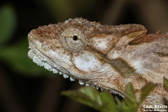 Bradypodion_ventrale_Eastern_Cape_Dwarf_Chameleon_Chad_Keates