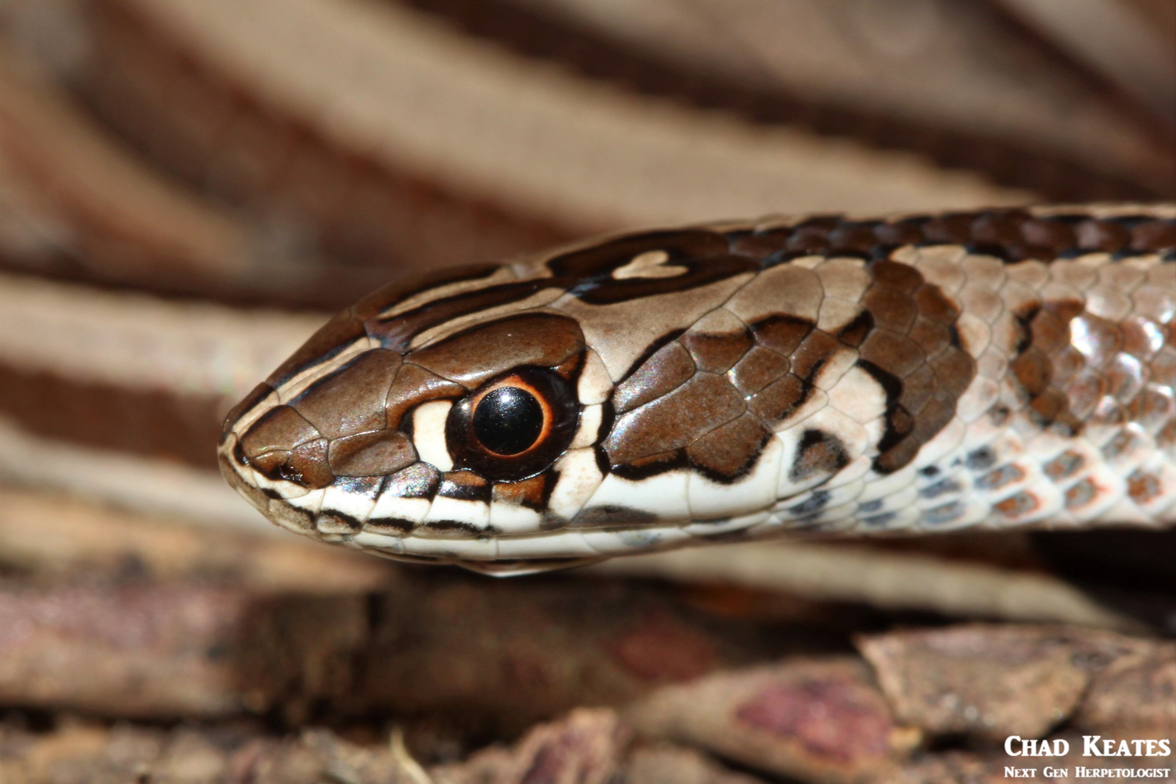 Psammophis_crucifer_Cross-marked_Whip_Snake_Chad_Keates (2)
