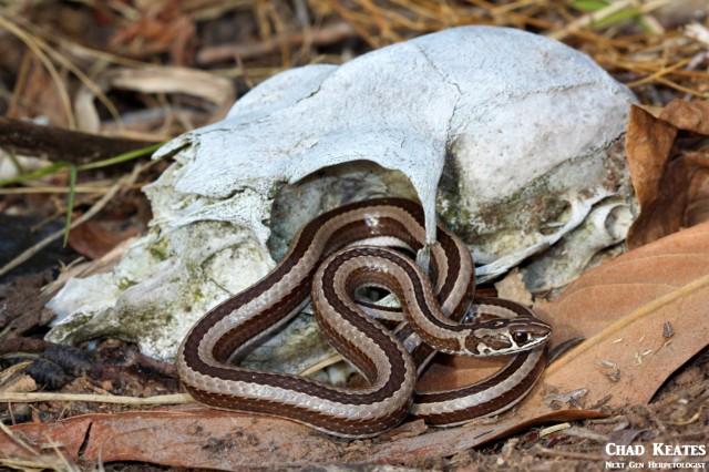 Psammophis_crucifer_Cross-marked_Whip_Snake_Chad_Keates (3)