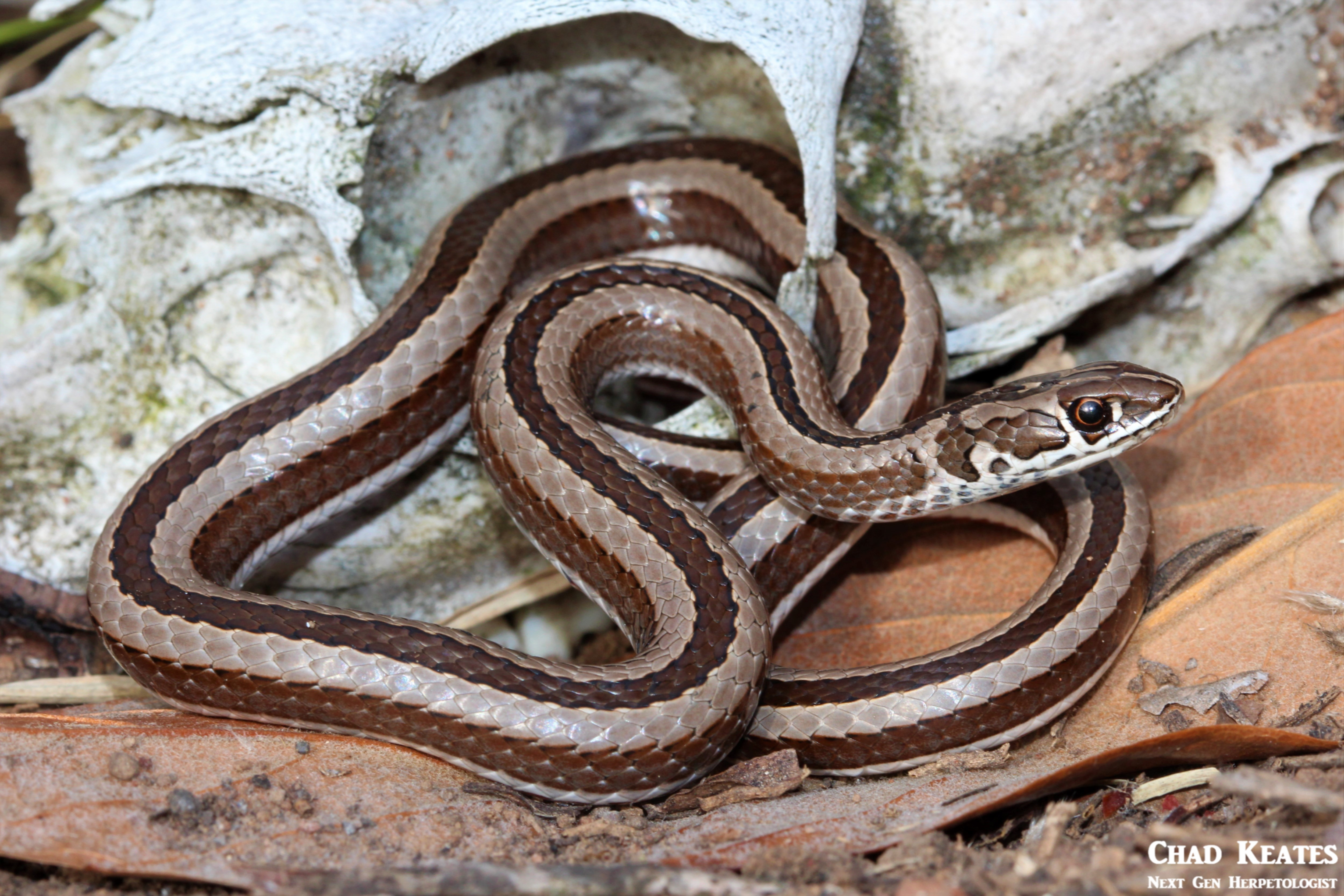 Psammophis_crucifer_Cross-marked_Whip_Snake_Chad_Keates (4)