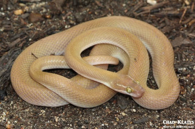 Boaedon_capensis_Brown_House_Snake_Chad_Keates (4)