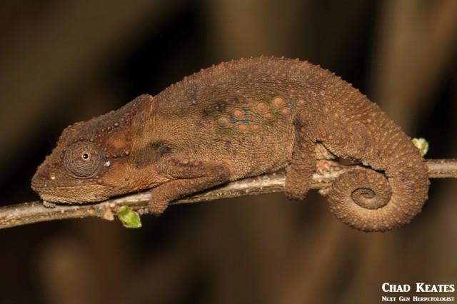 Bradypodion_ventrale_Eastern_Cape_Dwarf_Chameleon_Chad_Keates (3)